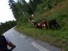 Kyr i veien